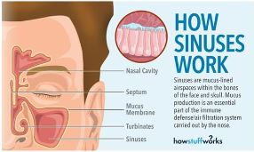 How Sinuses Work